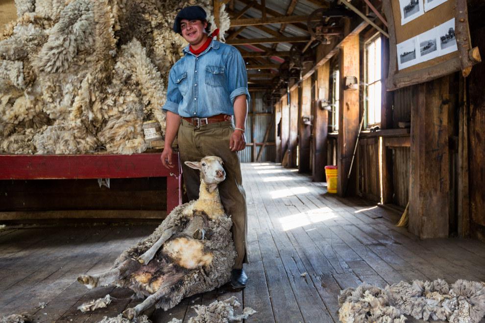 En la Estancia Nibepo Aike, a unos 60 km. de la ciudad de El Calafate, un gaucho trasquila a una de las 200 ovejas que crían en el establecimiento argentino. (Tetsu Espósito)