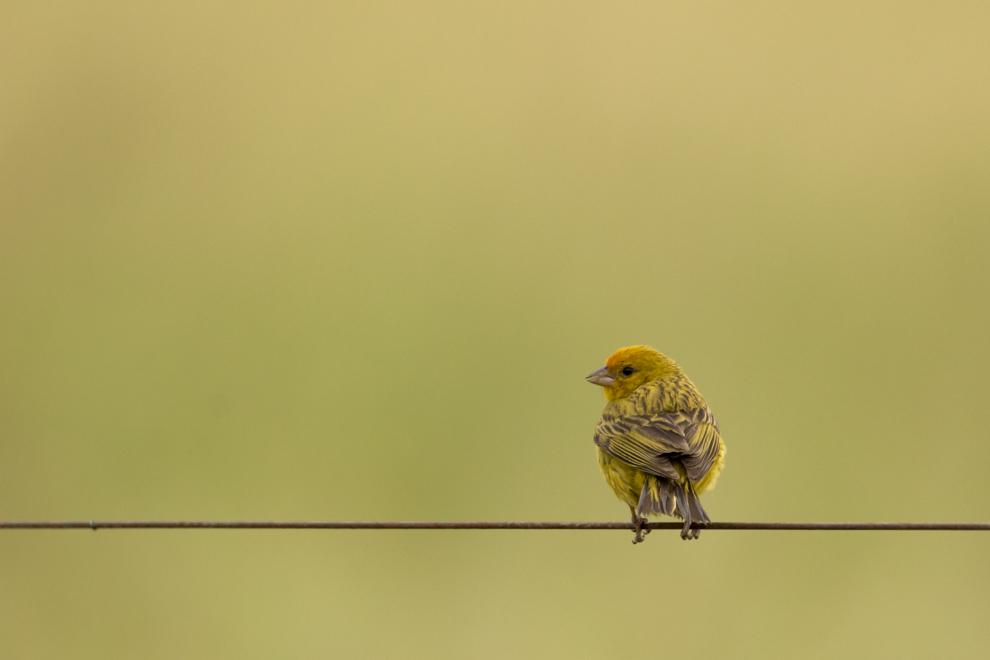 """En Chaco´i, a pocos kilómetros de Asunción, se pueden observar cientos de especies de aves y es un lugar recomendable para realizar el avistamiento. Otro conocido de las casas, es el canario paraguayo macho, la hembra es de color gris, su nombre en latín es """"Sicalis Flaveola"""", muy común en todo Paraguay. (Tetsu Espósito)"""