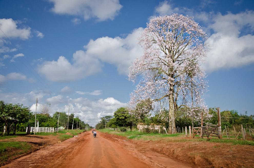 Un florecido árbol puede verse en el camino de tierra que une los pueblos de Choré y Colonia La Niña, en el departamento de San Pedro. (Elton Núñez)
