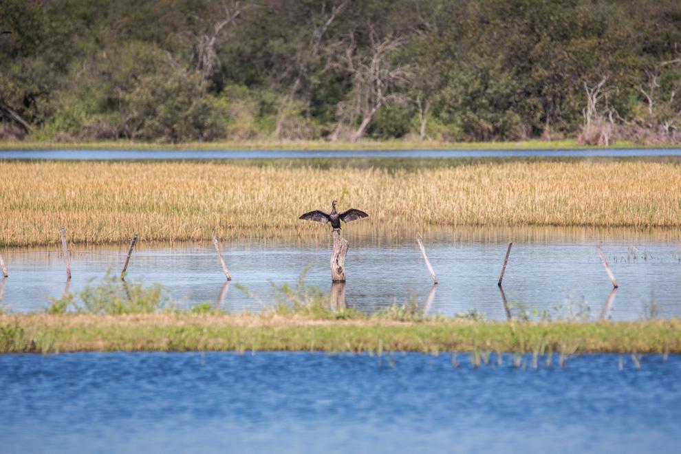 Un Mbiguá (Phalacrocorax brasilianus) extiende sus plumas al sol para secarse, luego de estar pescando, se alimenta principalmente de peces pequeños, pero también come renacuajos, ranas e insectos acuáticos. (Tetsu Espósito)