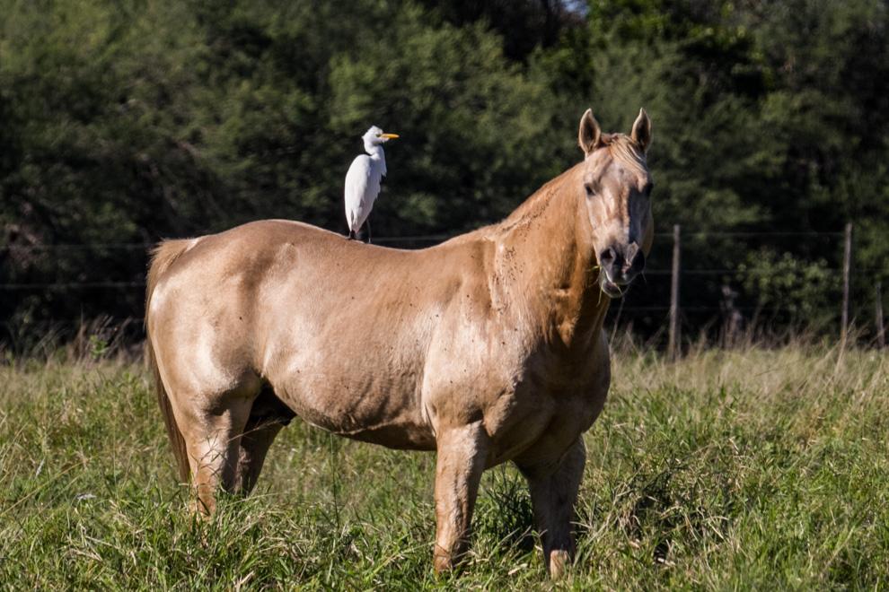 Una garcita Bueyera (Bubulcus ibis) se alimenta de los insectos que se encuentran sobre los animales. (Tetsu Espósito)