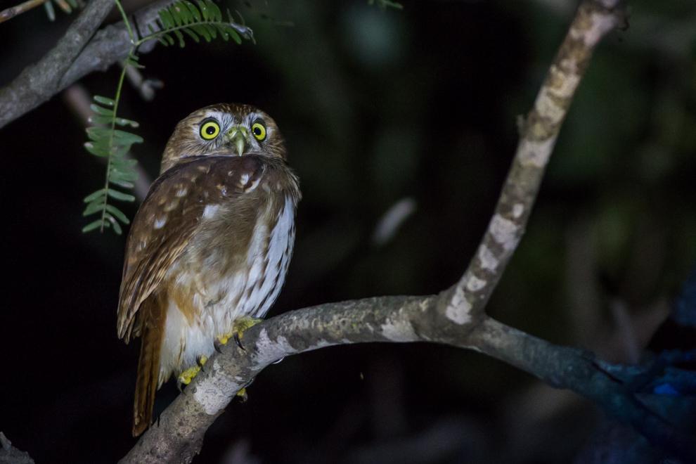 El caburé chico, mochuelo caburé o tecolote bajeño (Glaucidium brasilianum) es un ave rapaz nocturna, sin embargo esta especie particular a menudo caza de día. (Oscar Bordón)