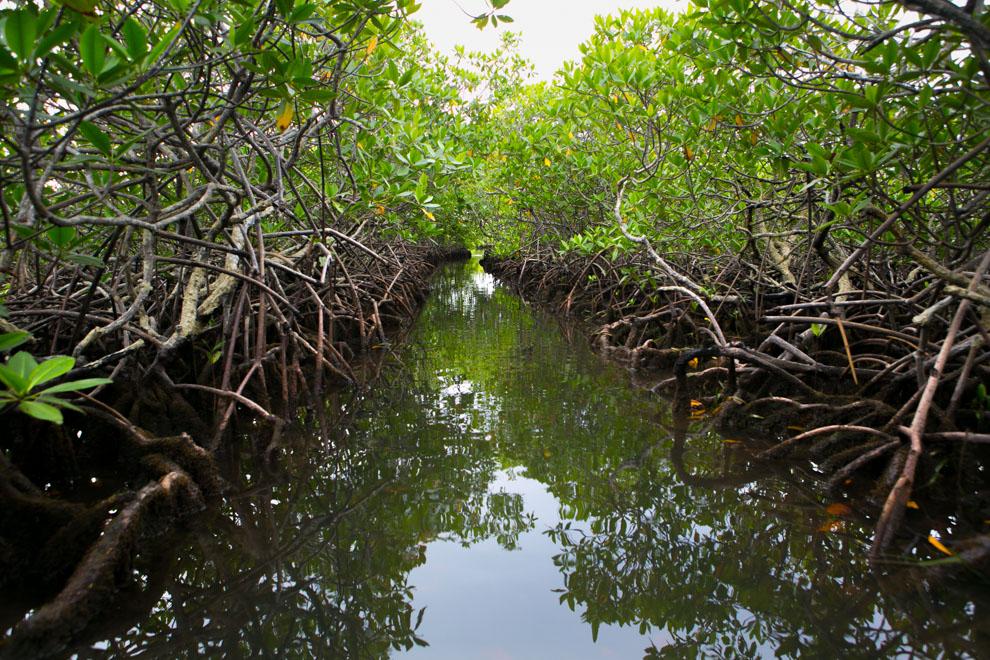 El manglar es considerado a menudo un tipo de biomasa, formado por árboles muy tolerantes a la sal que ocupan la zona intermareal cercana a las desembocaduras de cursos de agua dulce de las costas de latitudes tropicales y subtropicales. Su nombre deriva de los árboles que los forman, los mangles, el vocablo mangle de donde se deriva mangrove (en alemán, francés e inglés) es originalmente guaraní y significa árbol retorcido. (Tetsu Espósito)