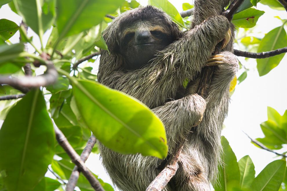 Los osos perezozos son animales neotropicales de variado tamaño y endémicos de las selvas húmedas de Centro y Sudamérica. Las especies actuales se pueden clasificar en dos géneros, los perezosos de tres dedos (Bradypus, Bradypodidae) y los perezosos de dos dedos. (Tetsu Espósito)