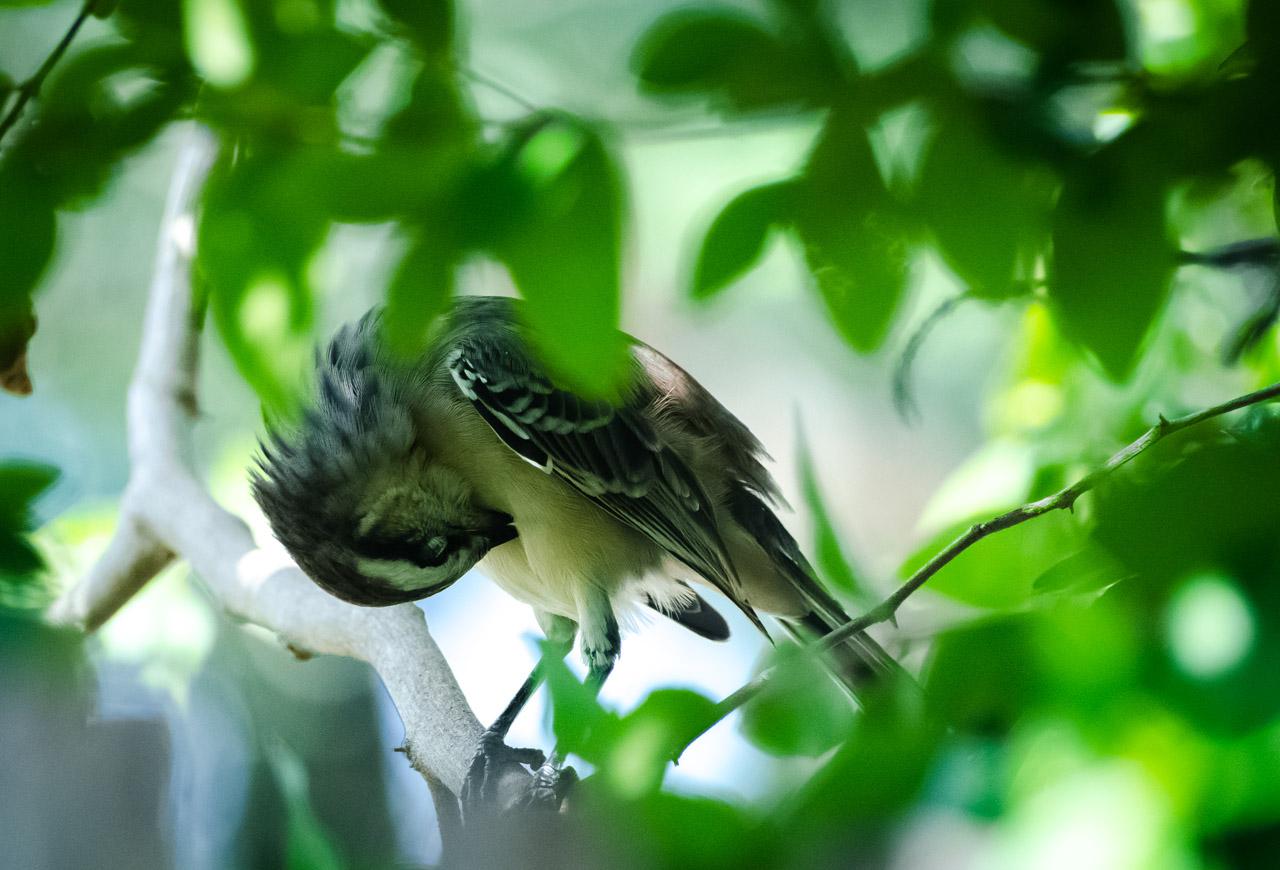 Una Calandria grande (Mimus saturninus) se acomoda las plumas entre las ramas de una planta de acerola, de cuyas frutas se alimenta diariamente. (Elton Núñez).