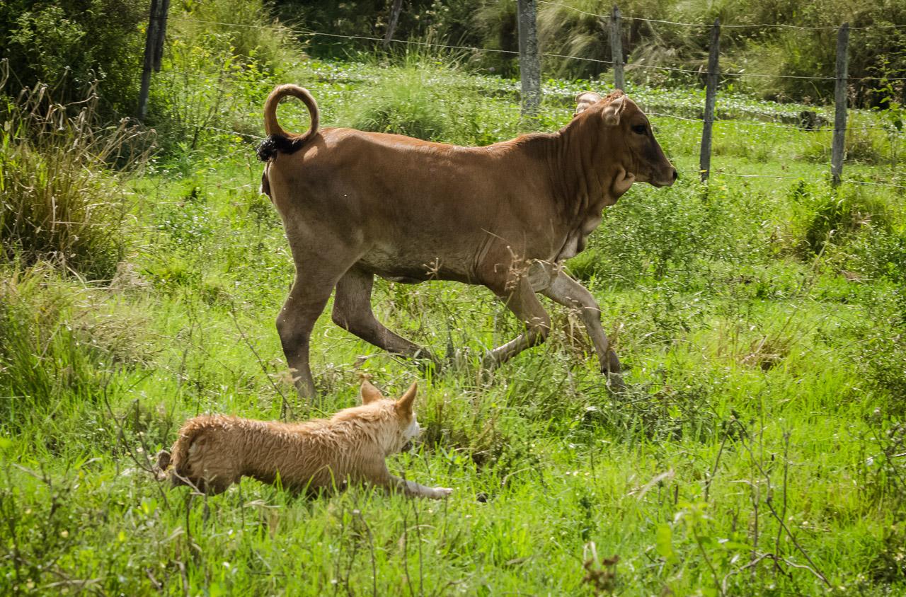 Rambo, la mascota de la estancia, colabora con los demás vaqueros en el trabajo de arrear las vacas hacia el corral. Los perros se ocupan de los novillos que acostumbran separarse del grupo. (Elton Núñez).