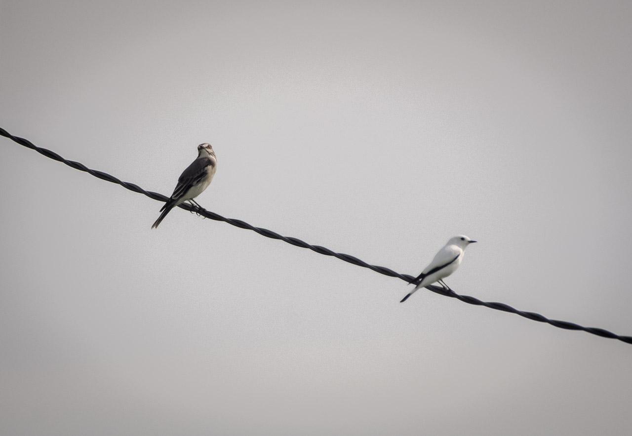 En una insólita foto, dos Monjitas, una gris (Xolmis cinerea) y una blanca (Xolmis irupero), se posan en el cable de electricidad de la estancia Santa Teresa. Particularmente observamos que estas aves son difíciles de fotografiar a corta distancia, debido a que tienden a espantarse pronto. (Elton Núñez).