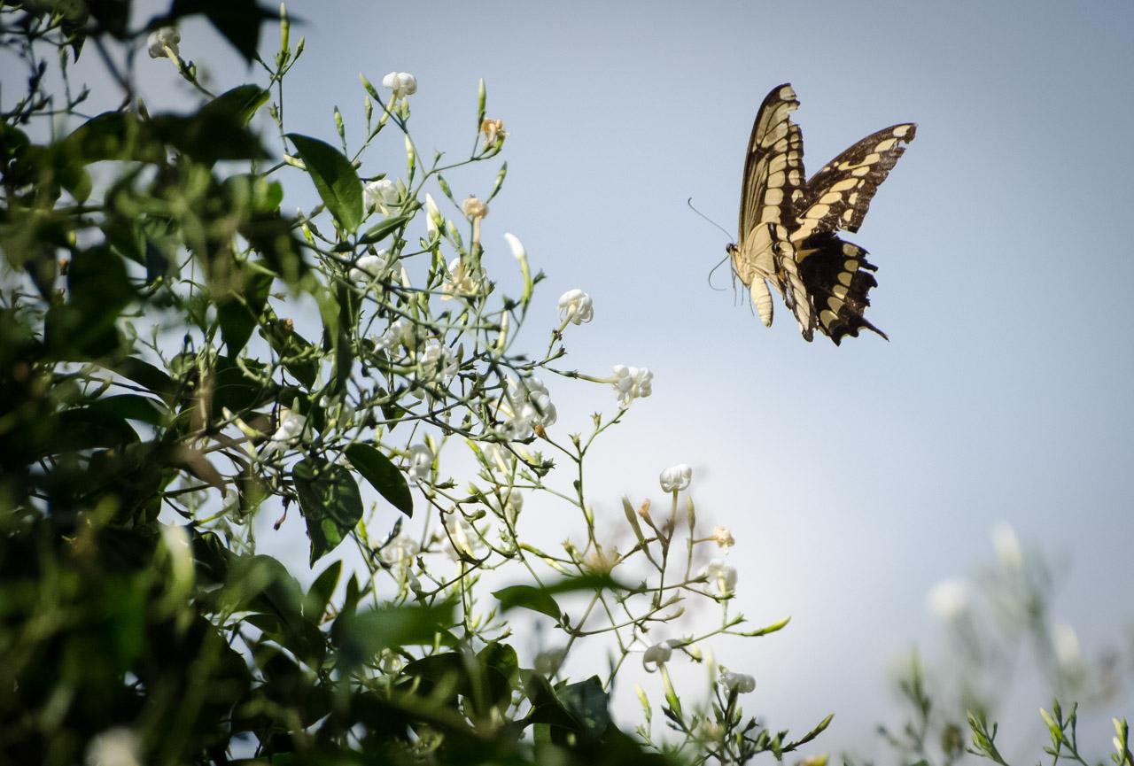Una mariposa revolotea sobre una planta de jazmín absorbiendo néctar. (Elton Núñez).