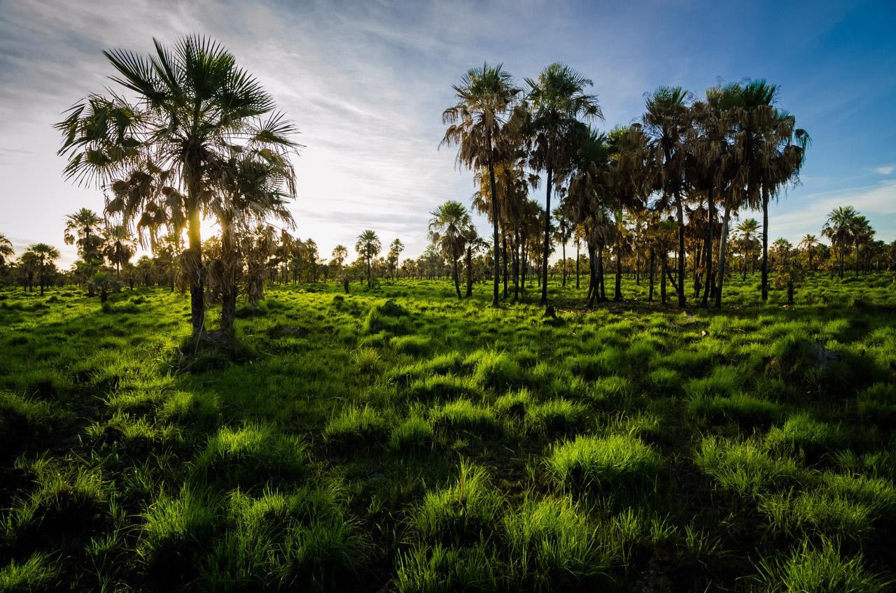 Paisaje chaqueño durante un atardecer en la zona de pastura del ganado, abundante verde por debajo y por encima los típicos árboles de Caranday. (Elton Núñez).