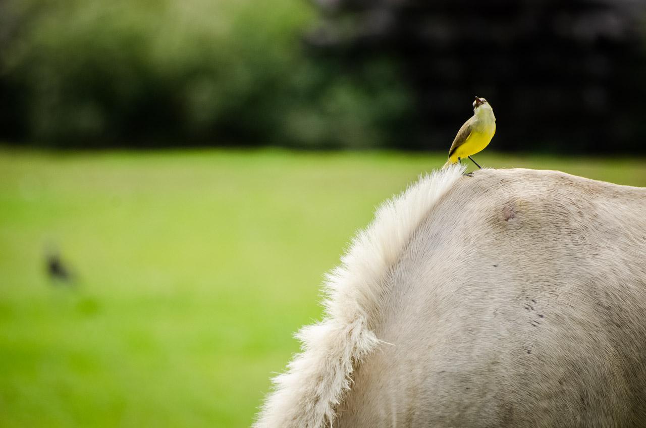 El Caballerizo o Guyra kavaju (Machetornis rixosus) se ve frecuentemente sobre el ganado o cerca de los caballos. (Elton Núñez).