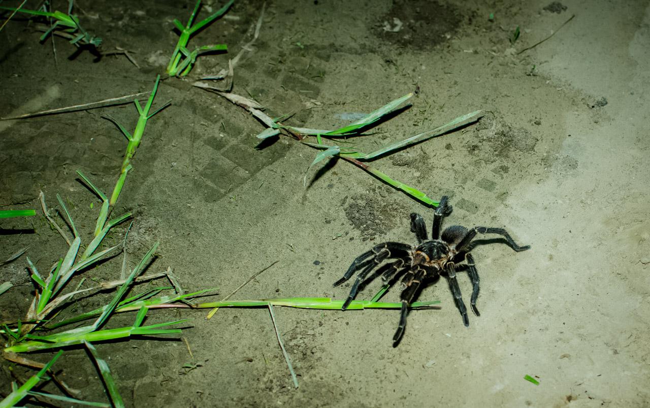Una araña pollito o tarántula (Theraphosidae) es visto a orillas de la ruta de tierra hacia el brazo norte del río Pilcomayo, a 30 kilómetros aproximadamente de la estancia Santa Teresa. (Elton Núñez).