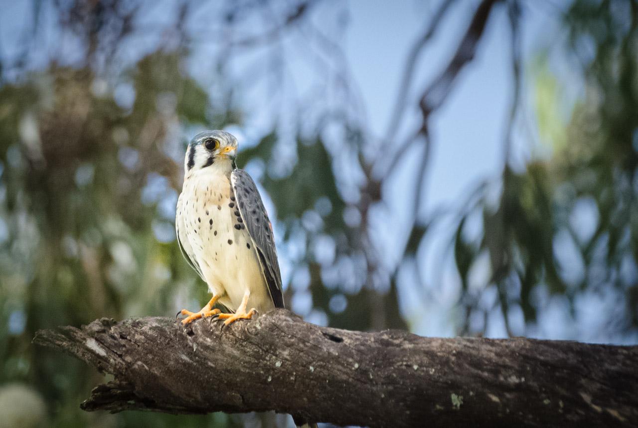 Un halconcito colorado (Falco sparverius) se posa en la rama de un eucalipto observando con su excepcional vista, cerca de los nidos colgantes de las cotorras. (Elton Núñez).