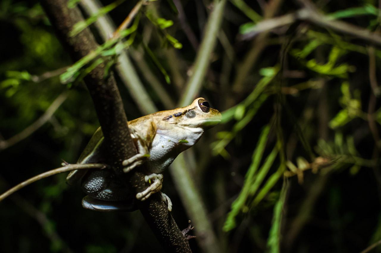 Una rana permanece a salvo en las ramas durante la noche, lejos del alcance de sus depredadores, en uno de los caminos que conducen a la Estancia. (Elton Núñez).