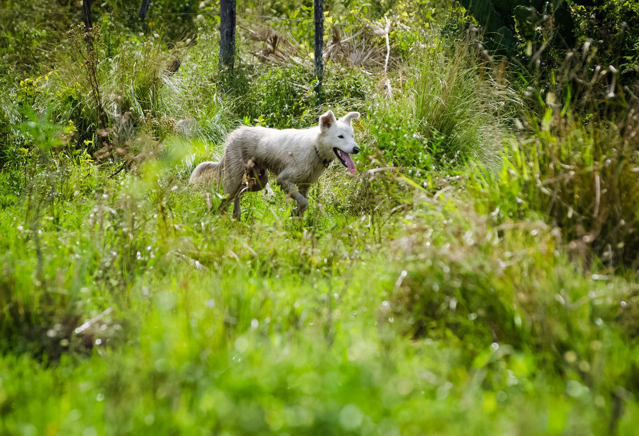 Un perro es miembro de la familia de la estancia y ayuda en las tareas de arreo del ganado, su instinto colaborador facilita el trabajo de los vaqueros cuando se necesita agrupar a las vacas que se separan del grupo. (Elton Núñez).