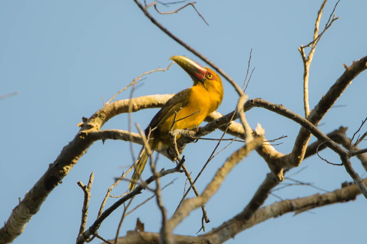 El arasarí banana, tucán banana o pteroglossus bailloni. Es único entre los tucanes, por su color azafrán y un ave que se encuentra en peligro de extinción en Paraguay. (Oscar Bordón)
