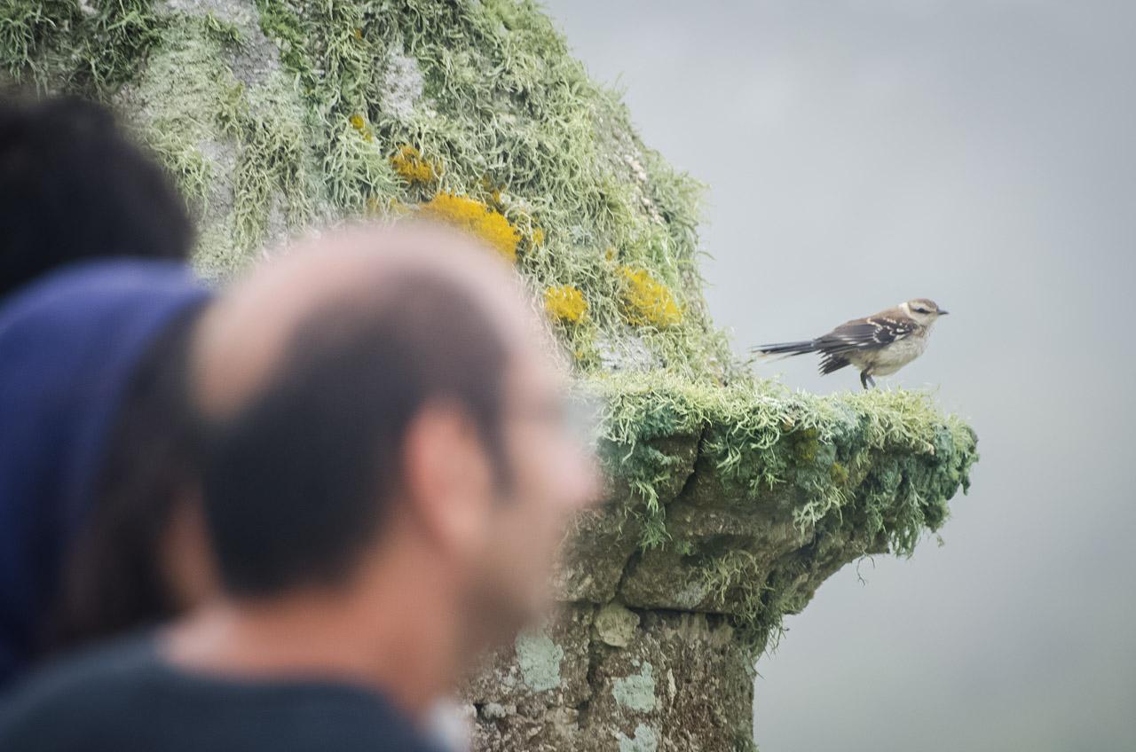 Una calandria canta mientras se posa en el mirador de la Fortaleza Santa Teresa del Parque Nacional Santa Teresa, en Rocha. (Elton Núñez)