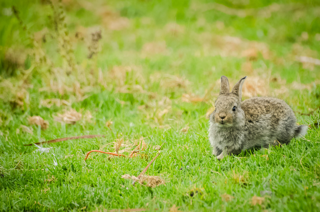 Una cría de conejo es visto andar libremente en el zoológico del Parque Nacional Santa Teresa llamado La Pajarera. (Elton Núñez)