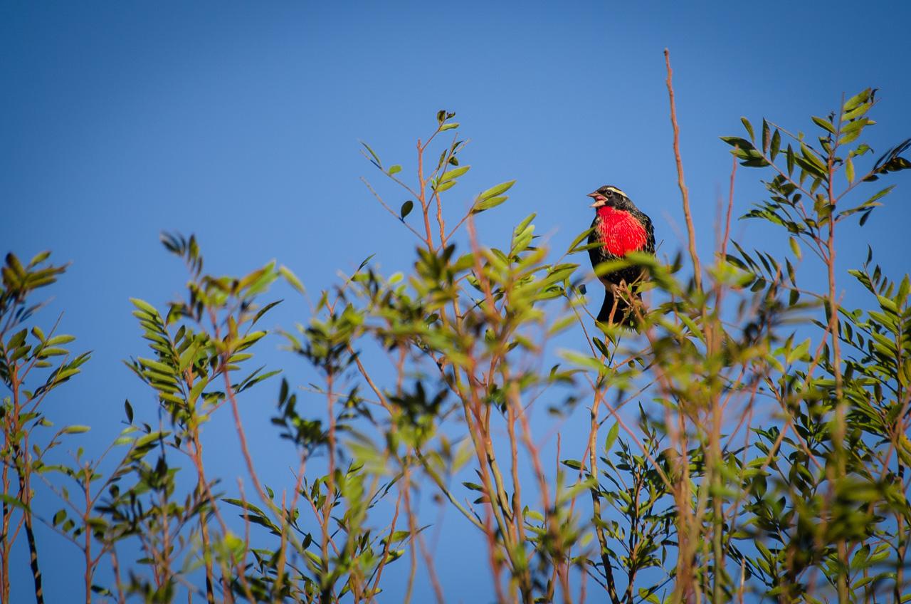 Un Sturnella superciliaris se posa sobre los arbustos camino a la Reserva Morombí. Le gusta habitar entre las plantas bajas, cerca de plantaciones y áreas más despejadas. (Elton Núñez)