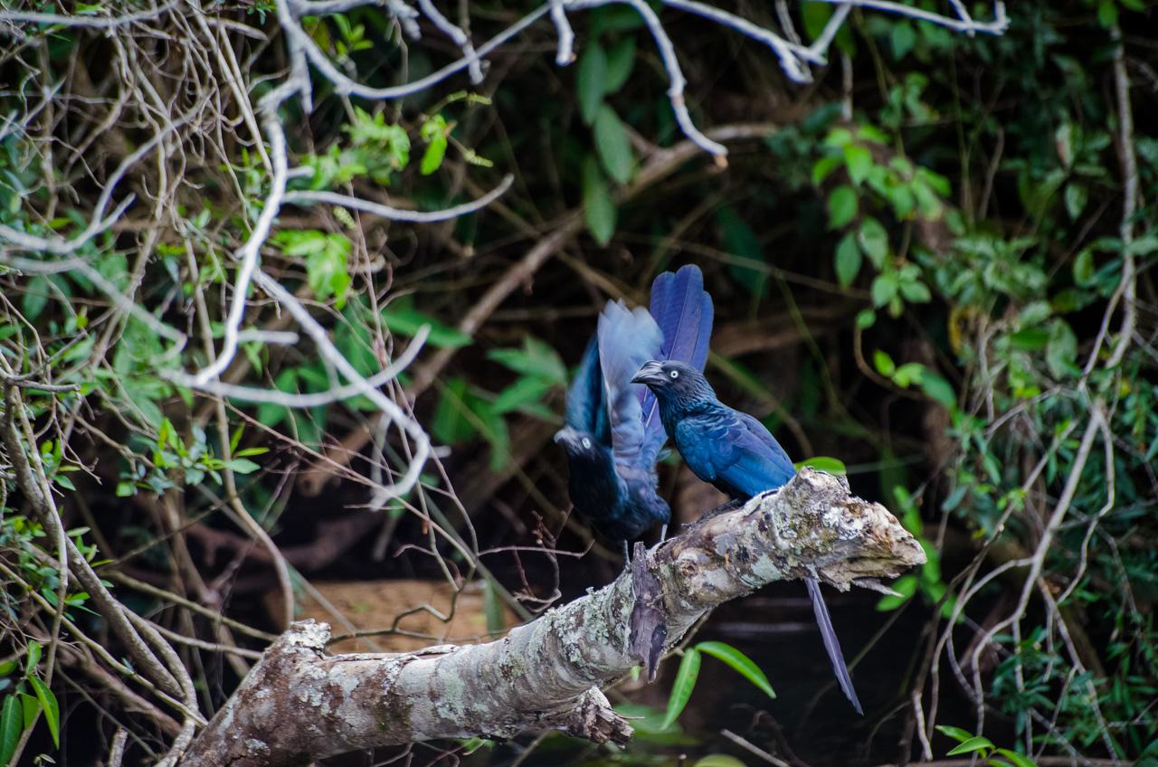 El Anó Grande (Crotophaga major) es un ave que ocupa casi toda sudamérica, parecido al tucán y al cuervo, su cola es larga y su vuelo es hermoso. Habita cerca de grandes masas de agua y orillas de bosques, lo que explica su presencia en las aguas del río Iguazú. (Elton Núñez).