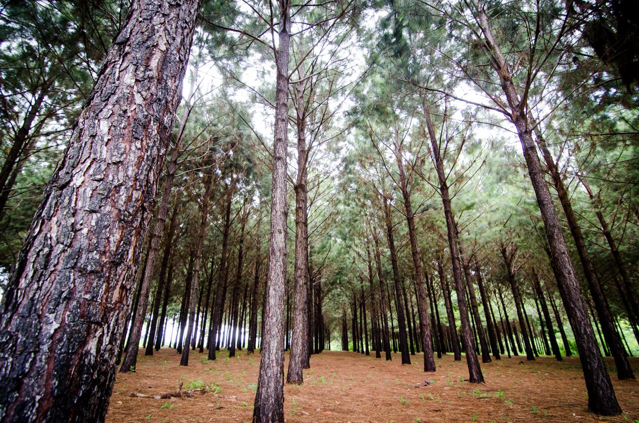 Un bosque de pinos está situado al lado de la Compañía Minera de Wanda, en Wanda, Puerto Iguazú. (Elton Núñez).