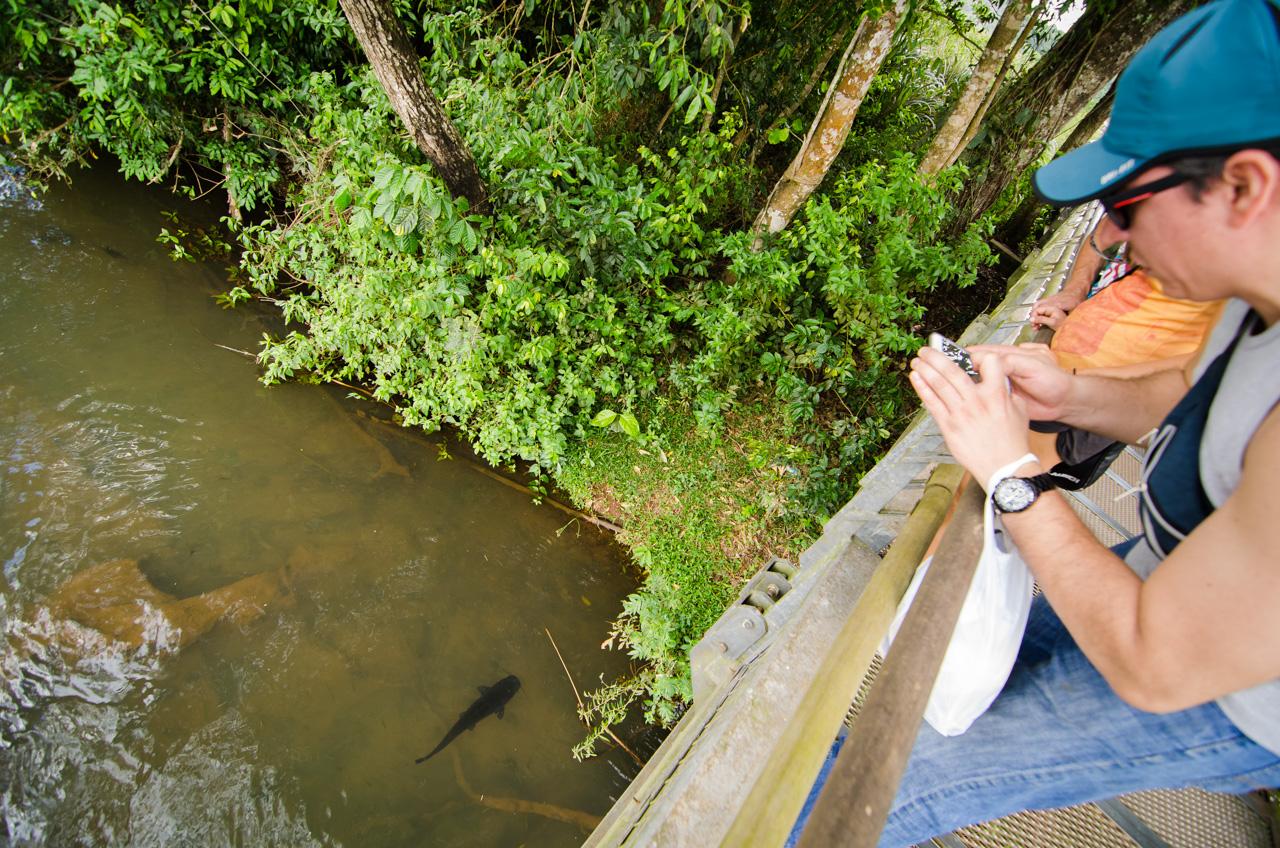 Camino a las cataratas, por el sendero de la superficie del río Iguazú, los turistas pueden contemplar muchas especies, entre ellas pueden verse hasta peces de enormes tamaños como el Bagre Cabezón o Moncholo. (Elton Núñez).