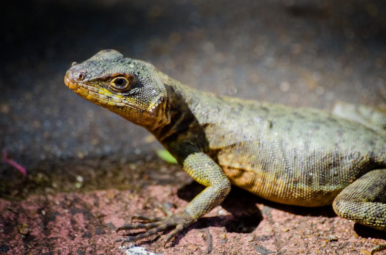 Una lagartija de mancha lateral norteña (Uta stansburiana) anda libremente por el Parque Nacional de Puerto Iguazú, no le preocupa estar a la vista de los turistas. (Elton Núñez).