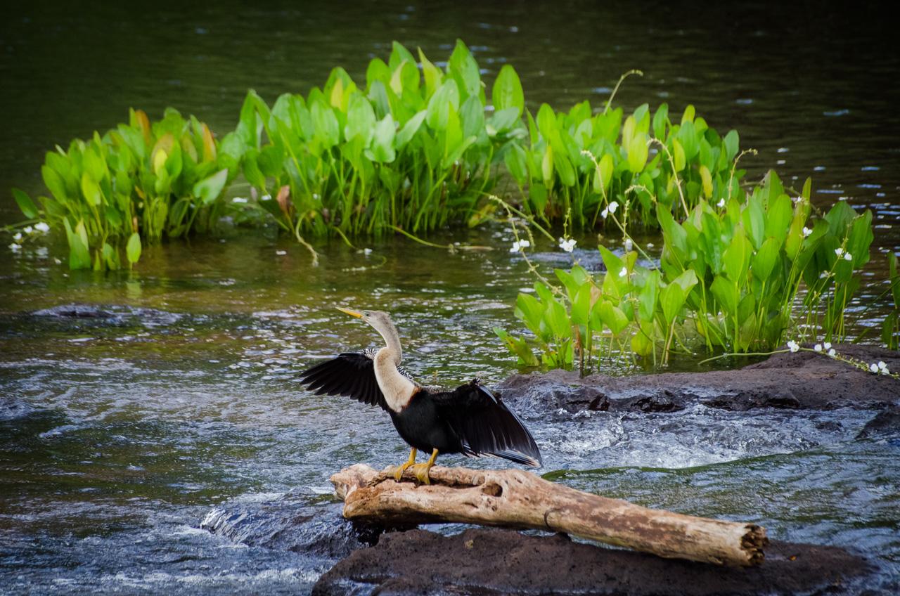 Una Anhinga seca sus plumas con el viento en la orilla del Río Iguazú, muchas de estas aves pueden verse a lo largo del camino que compone el circuito turístico desde el Parque Nacional hasta las Cataratas del Iguazú. (Elton Núñez).