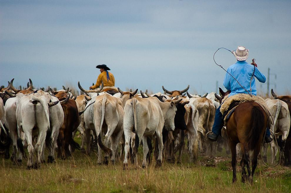 """Ganaderos arreando las vacas para su correspondiente vacunación de la época. Los lugareños llaman """"troperos"""" a los ganaderos y """"tropa"""" al conjunto de vacas en marcha. Campaña de Caapucú, Departamento de Paraguarí. (Elton Núñez, 2009)"""