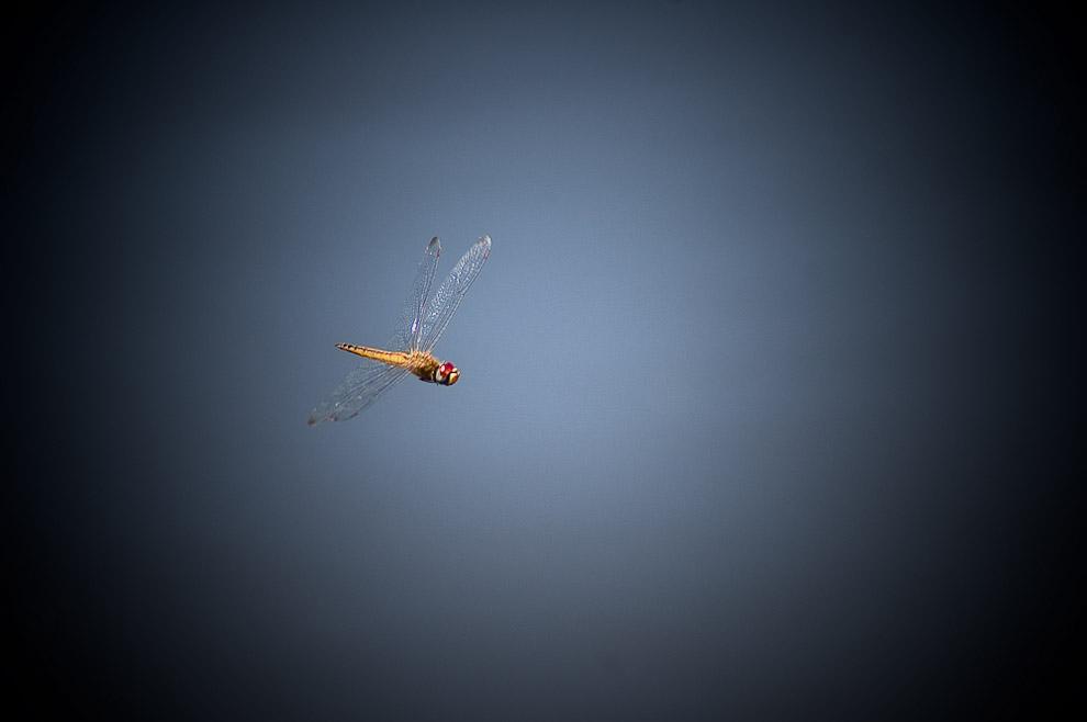 "Libélula en pleno vuelo, cerca de un pequeña laguna que localmente se denomina ""Tajamar"", en la campiña de Caapucú, Departamento de Paraguarí. (Elton Núñez, 2009)"