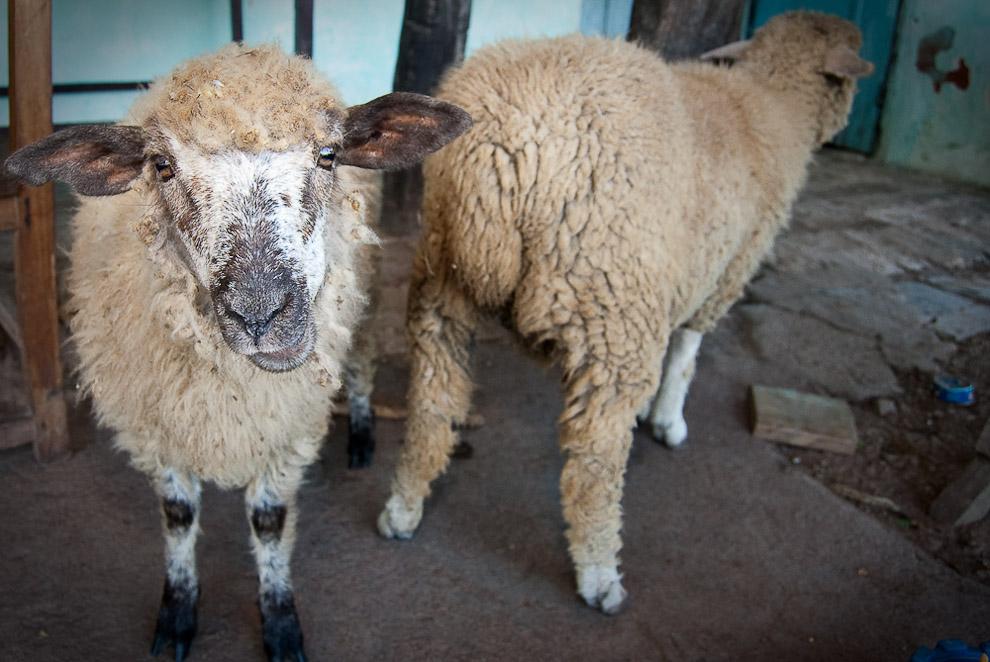Ovejas mantenidas libres en el predio del Rancho de la familia Blanco, estas ovejas forman parte del ganado y recurso económico de las personas que viven en la campaña de Caapucú, Departamento de Paraguarí. (Elton Núñez, 2009)