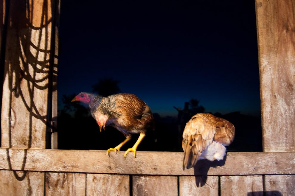 Pollos preparandose para dormir en la ventana del rancho de Fernando Blanco, antes de caer el sol es típico que las gallinas y los pollos empiecen a regresar para dormir en los arboles o ventanas. Campaña de Caapucú, Departamento de Paraguarí. (Elton Núñez, 2009)