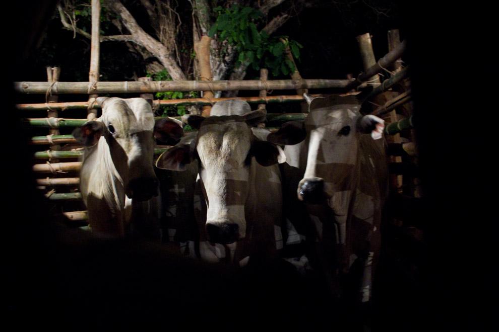 Los toros esperan sus turnos en un improvisado corral mientras se prepara el espectáculo principal.  (15 de Agosto, Paraguay - Tetsu Espósito)
