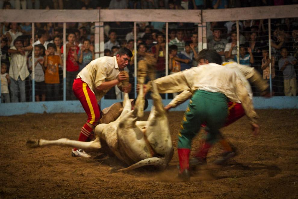 Se requiere de mucho esfuerzo y trabajo en equipo para poder tumbar y someter al toro, el cual una vez sometido es devuelto a su corral. (15 de Agosto, Paraguay - Tetsu Espósito)