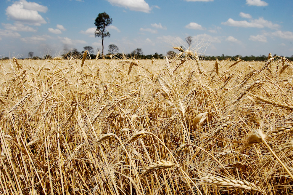 Trigales en la Ciudad de Cedrales, Alto Paraná, campos de trigo y soja son los principales protagonistas del paisaje de esta productiva zona agricultora. (Elton Núñez - Cedrales, Paraguay)