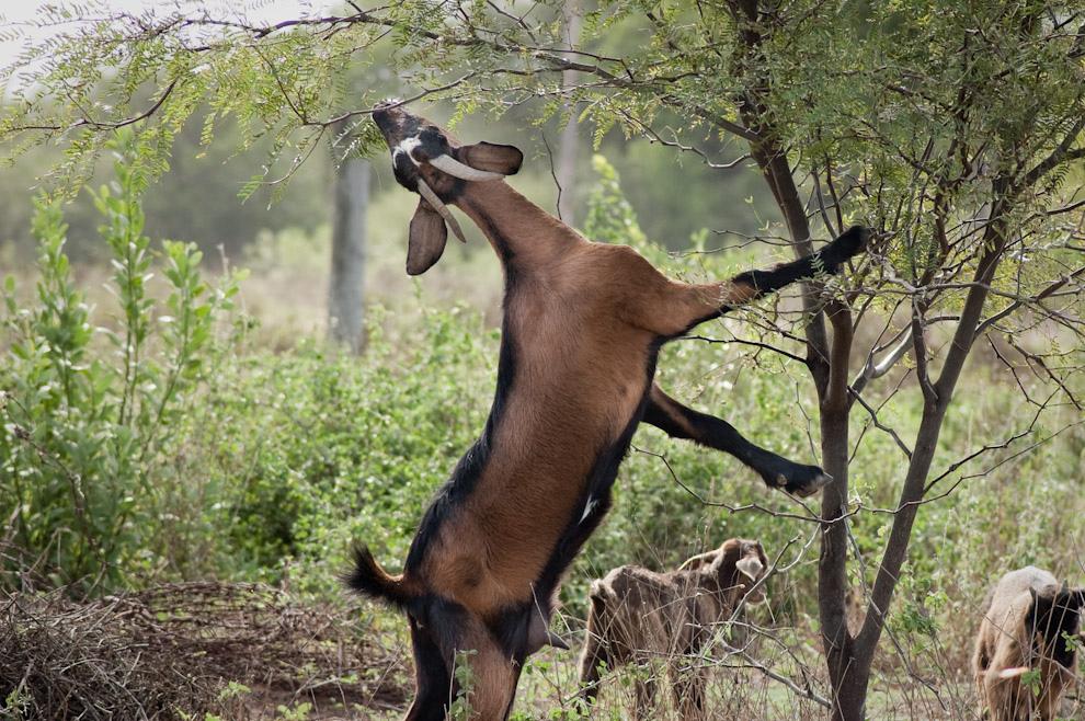 Una cabra intenta alcanzar las hojas de los arbustos para alimentarse en Fortín Isla Po'í (Elton Núñez - Isla Po'í, Paraguay)