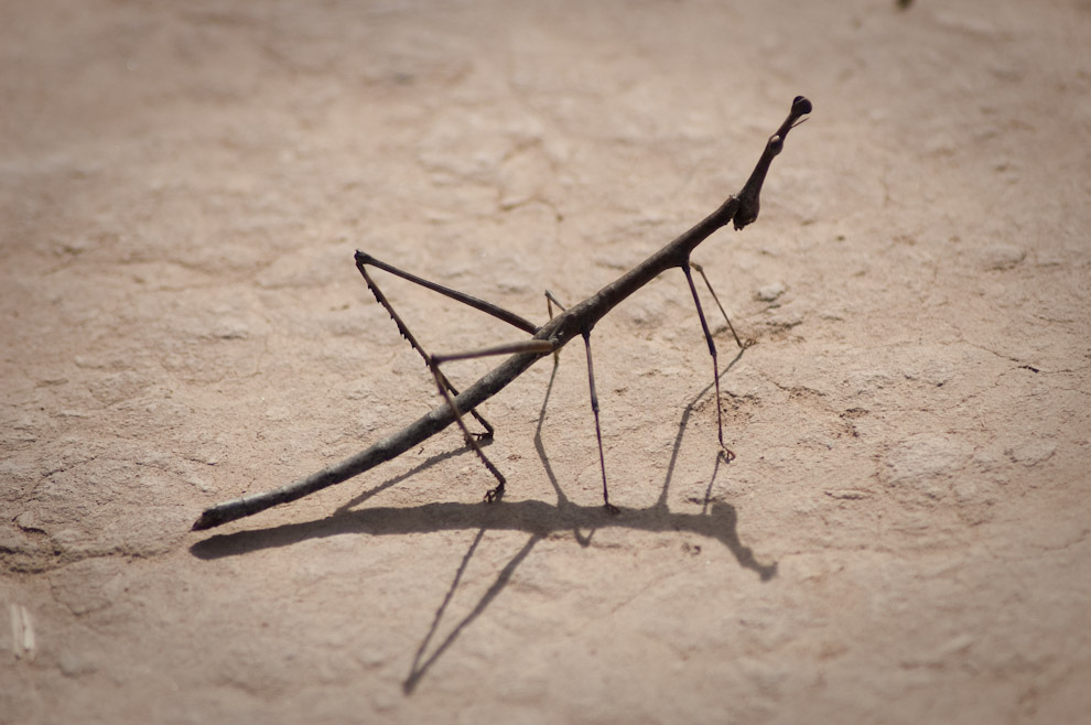 """Phasmatodea, o una clase de """"Bicho Palo"""" encontrado en el suelo Chaqueño durante nuestra visita al Fortín Boquerón (Elton Núñez - Boquerón, Paraguay)"""