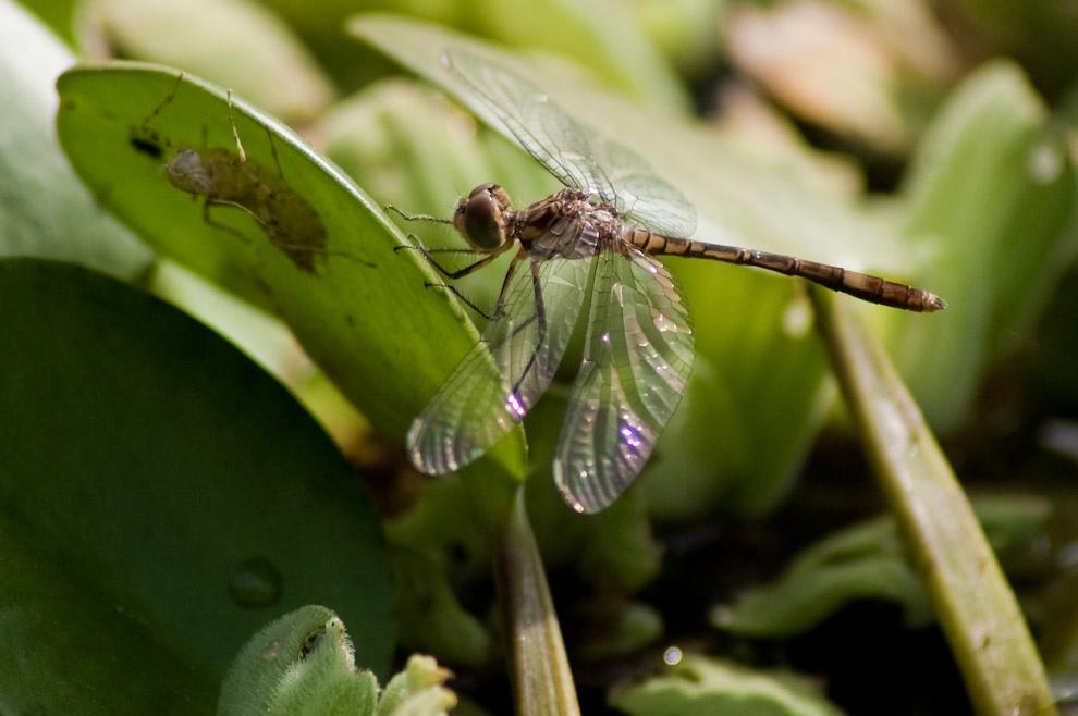 Una libélula se posa en uno de los camalotes de una laguna cercana al Fortín Boquerón (Elton Núñez - Boquerón, Paraguay)