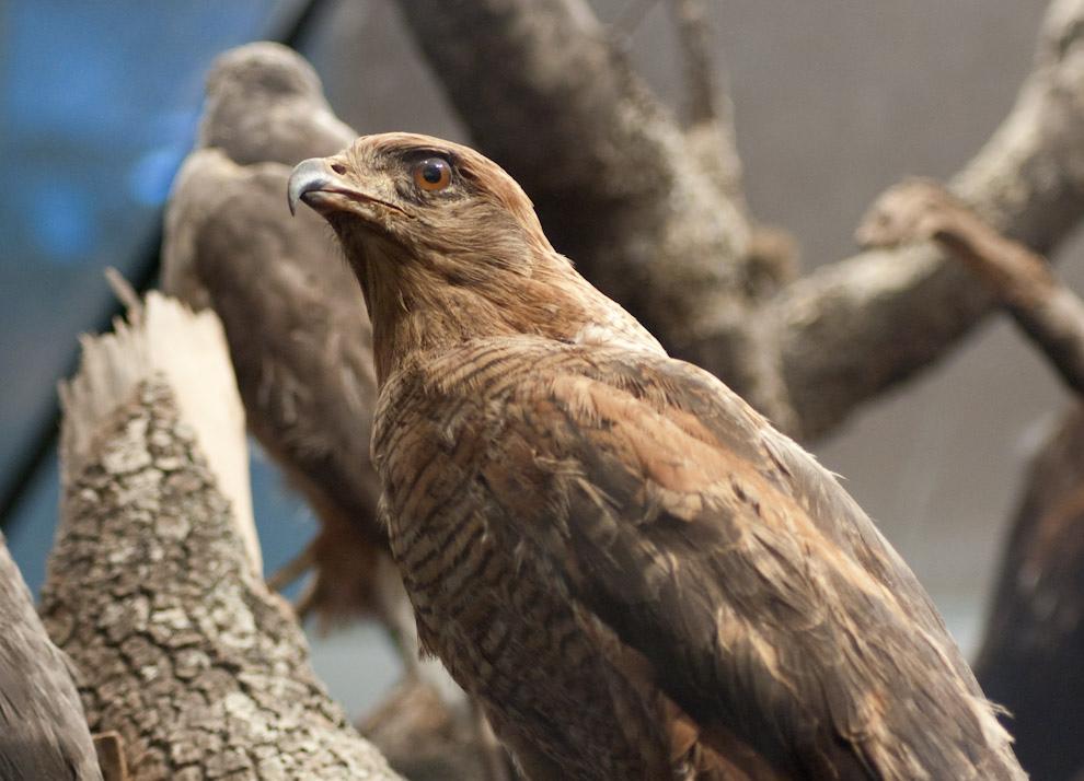 Aguila disecada casi a la perfección en el Museo Jacob Unger de Filadelfia (Elton Núñez - Filadelfia, Paraguay)