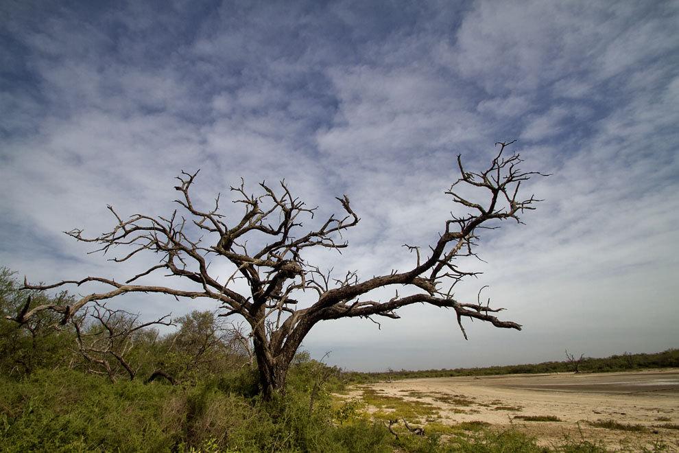 Un arbol reseco se extiende al costado de una aguada, a punto de secarse, en Fortín Isla Po´i. (Tetsu Espósito - Isla Po´i, Chaco, Paraguay)