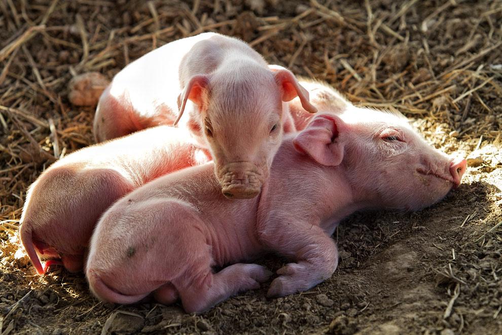 Lechones recién nacidos en una granja en Paso Los Pioneros. (Tetsu Espósito - Paso Los Pioneros, Chaco, Paraguay)