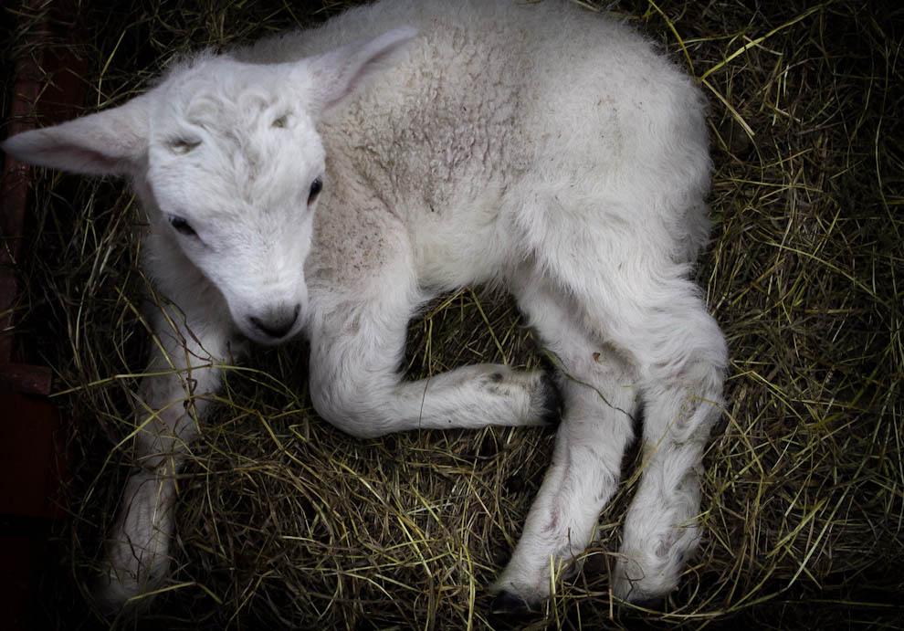 Una oveja recién nacida descansa junto a su madre, en un recinto de la Feria. (Tetsu Espósito - Mariano Roque Alonso, Paraguay)