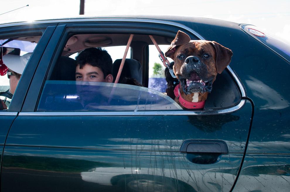 Un Bóxer se deleita en la ventana del auto mientras sus dueños lo pasean en la tarde del domingo 23 de Enero pasado, el paseo del perro es otra actividad interesante en las familias que aman a su mascota. (Elton Núñez - Ypacaraí, Paraguay)