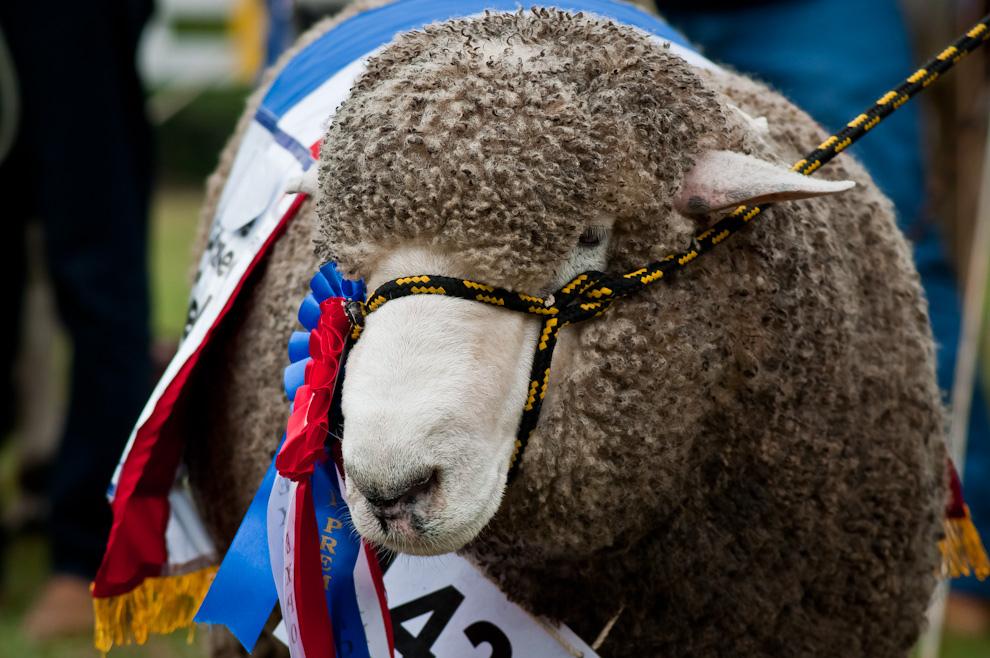 Un gran campeón de la raza ovina es exhibido en el desfile de animales premiados durante la ceremonia de apertura oficial de la Expo 2011 el sábado 16 de Julio por la mañana. (Elton Núñez)
