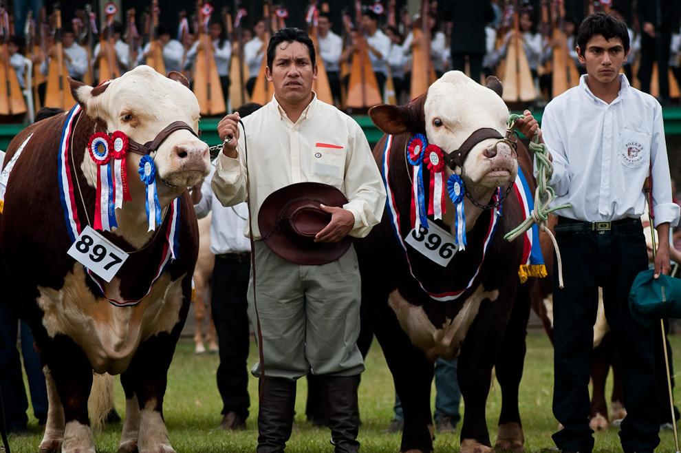 Dos baqueanos entonan el himno nacional al lado de sus respectivos ejemplares de la raza Bradford, durante la ceremonia de apertura oficial de la Expo 2011 el sábado 16 de Julio durante la mañana, en el fondo las 80 arpas dirigidas por el maestro Luis Zsarán. (Elton Núñez)