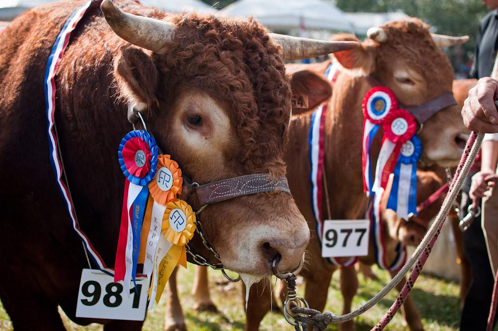 Un ejemplar campeón de la raza Brangus es exhibido en el desfile de animales premiados llevado a cabo el sábado 16 de Julio luego de la apertura oficial de la mayor exposición de Ganadería del Paraguay.  (Elton Núñez)