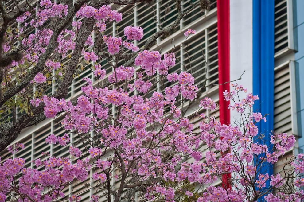 Las flores de lapacho rosado adornaron nuestra ciudad como si supieran que Asunción estaba de cumpleaños, es difícil ignorar el fenómeno de florecimiento prematuro de lapachos en Agosto que ofreció un toque ideal de hermosura. (Elton Núñez)