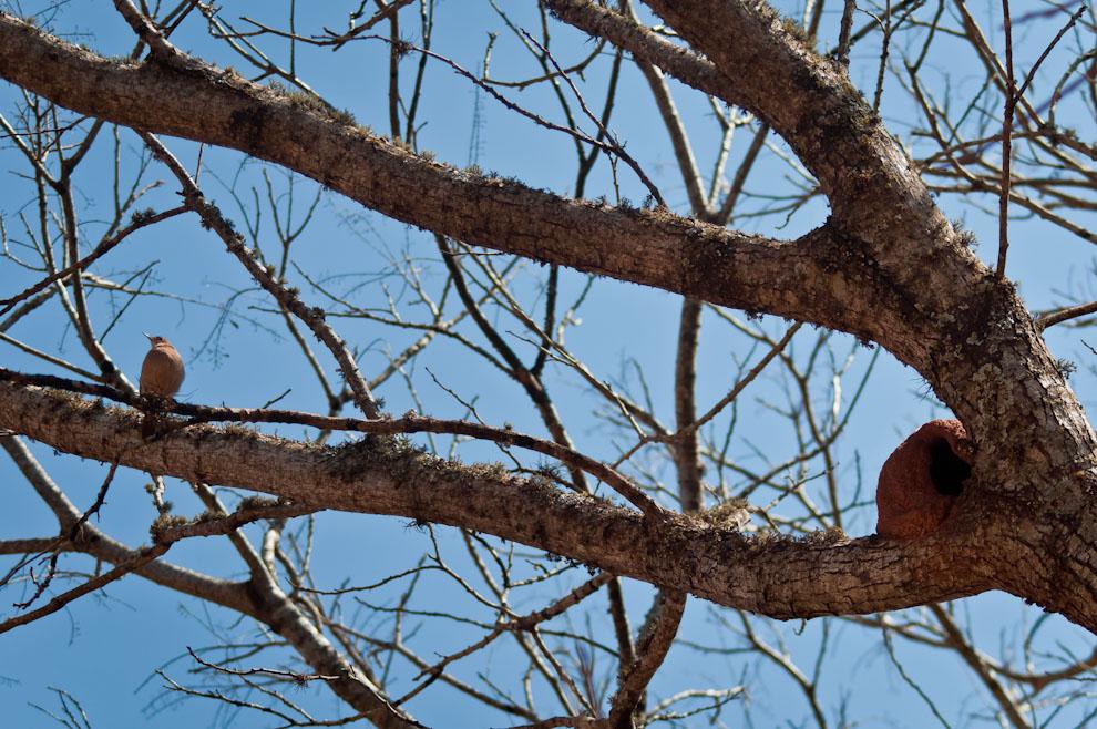 A tempranas horas de la mañana del sábado un hornero rojo (Furnarius Rufus) se posa en la ramas de un árbol cerca de su nido de barro. (Elton Núñez)