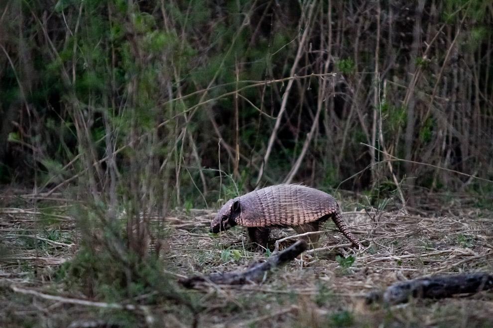 Un tatú bolita  o armadillo, se escapa al escuchar nuestros pasos en medio de la vegetación chaqueña. (Tetsu Espósito)