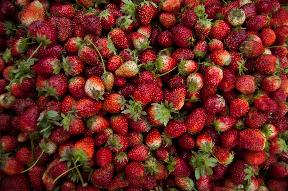 Frutillas acumuladas en una canasta son apartadas debido a su menor tamaño y aspecto ya que no pueden ser fácilmente comercializadas como las demás. Las que no cumplen con un mínimo requisito de calidad se utilizan para la producción de mermeladas, jugos y licores. (Elton Núñez)