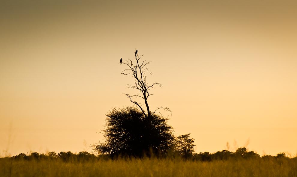 Una pareja de Taguatós aguarda el amanecer sobre un árbol cerca de la ruta que conecta con Cruce Pioneros. Luego de varias horas de viaje nocturno una sensación de emoción nos envolvió cuando empezamos a divisar aves gracias a las primeras luces del alba, señal de que nos esperaban una buena aventura y muchas fotos. (Elton Núñez)